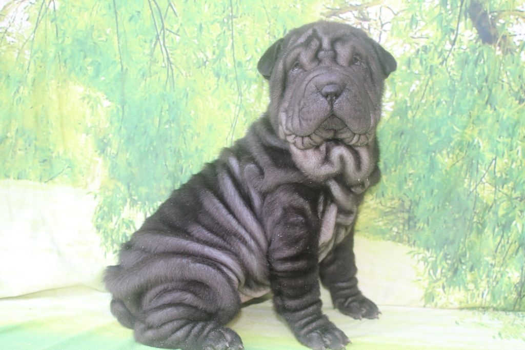 of caniland's dream - Chiot disponible  - Shar Pei