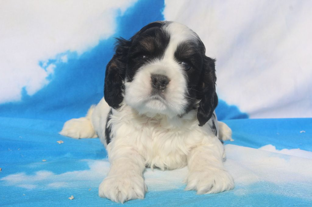 of caniland's dream - Chiot disponible  - American Cocker Spaniel
