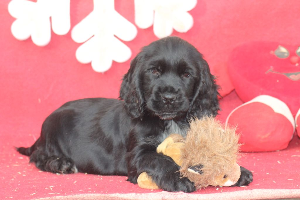 of caniland's dream - Chiot disponible  - Cocker Spaniel Anglais