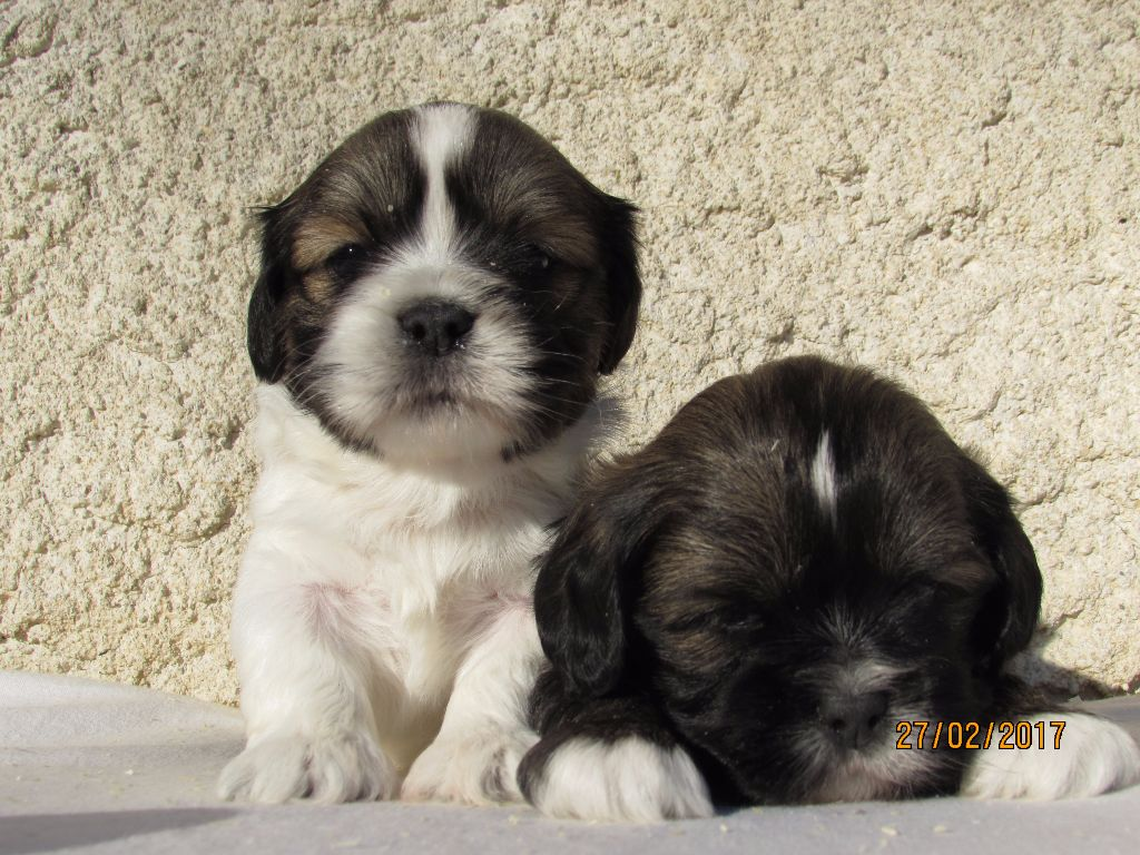 chiot Lhassa Apso of caniland's dream