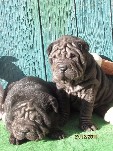 chiot Shar Pei of caniland's dream