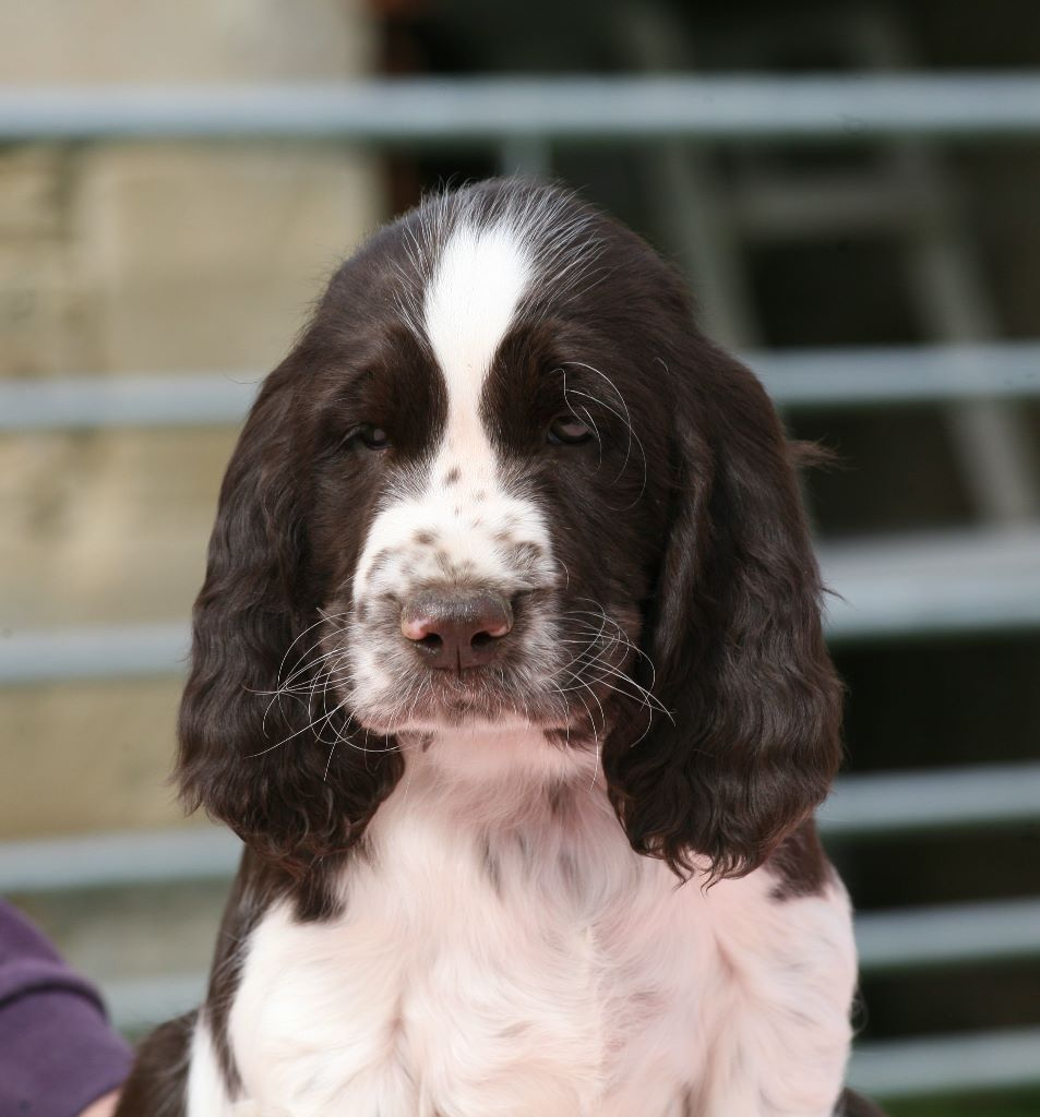 Canouan - Chiot disponible  - English Springer Spaniel