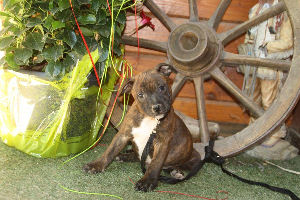 du chant de hienda - Chiot disponible  - Staffordshire Bull Terrier