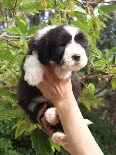 of Sheytane - Chiot disponible  - Bearded Collie