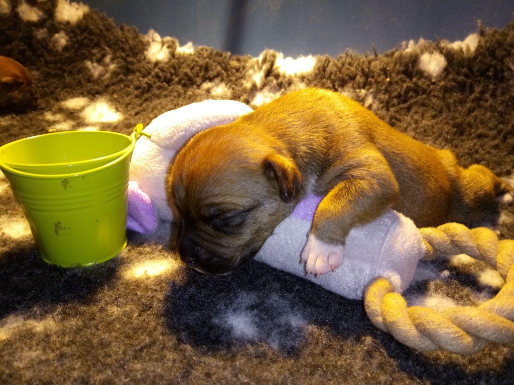 NARCO MALE SEAU VERT - Staffordshire Bull Terrier