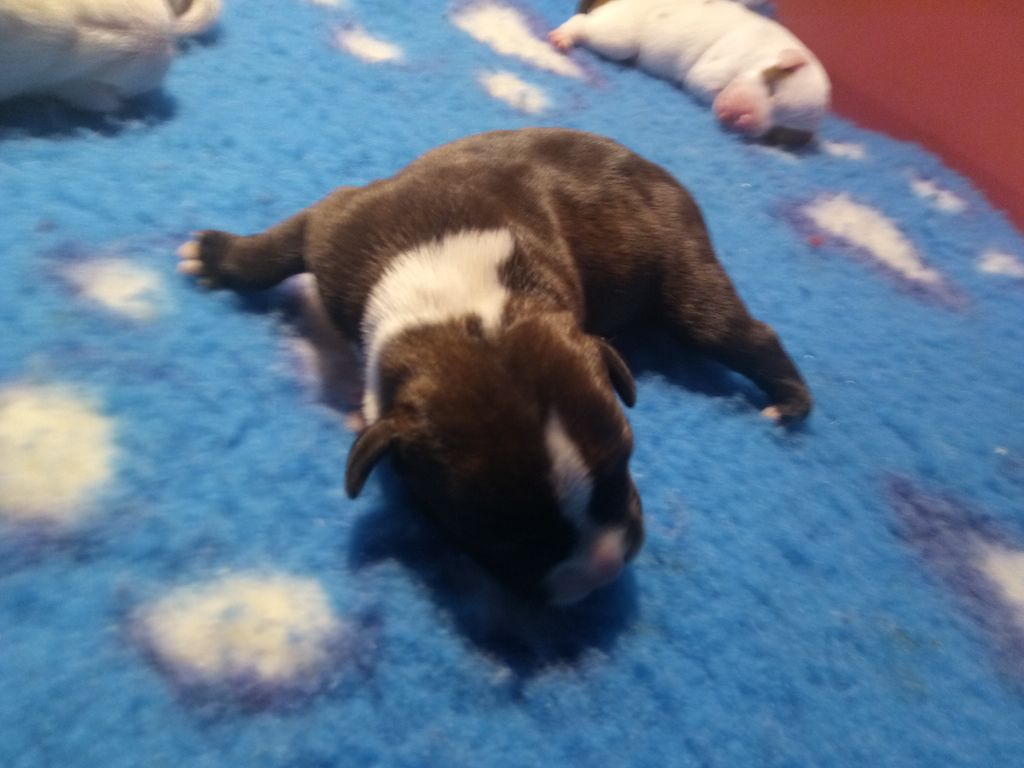 MALE - Staffordshire Bull Terrier