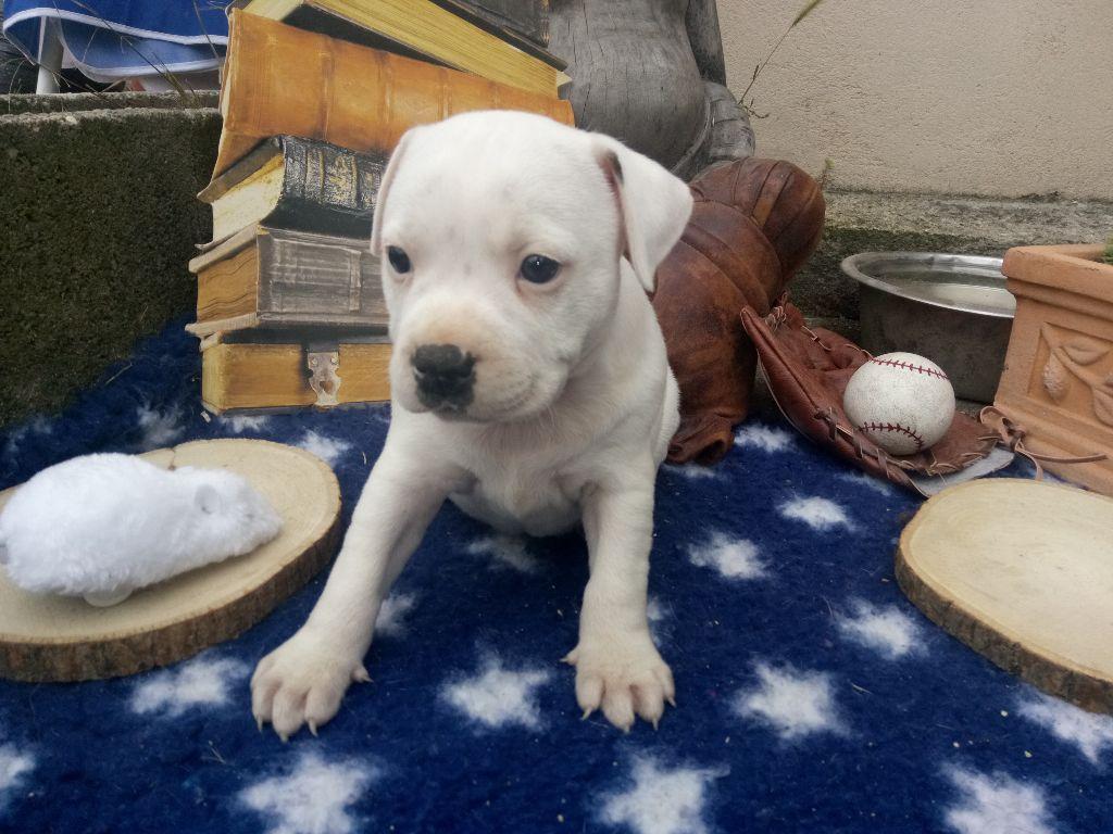 MALE ONE WHITE - Staffordshire Bull Terrier