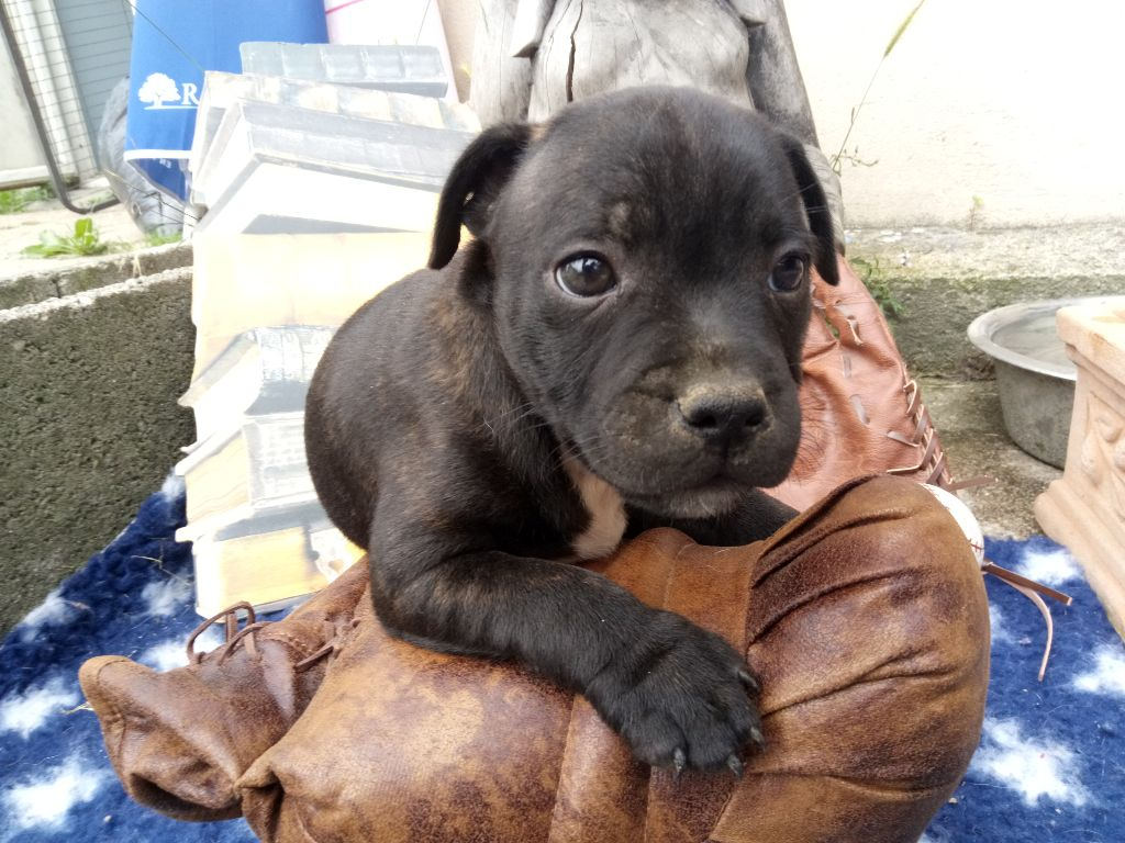 MALE ONE BLACK - Staffordshire Bull Terrier