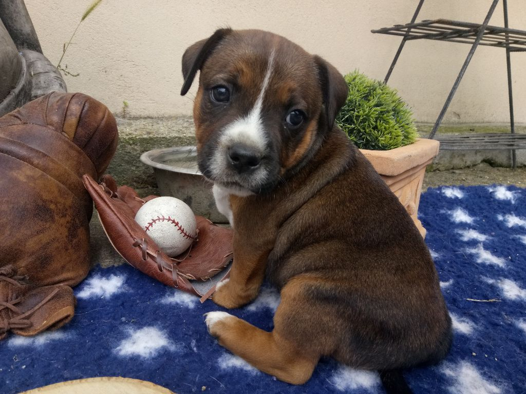 MALE ONE KING - Staffordshire Bull Terrier