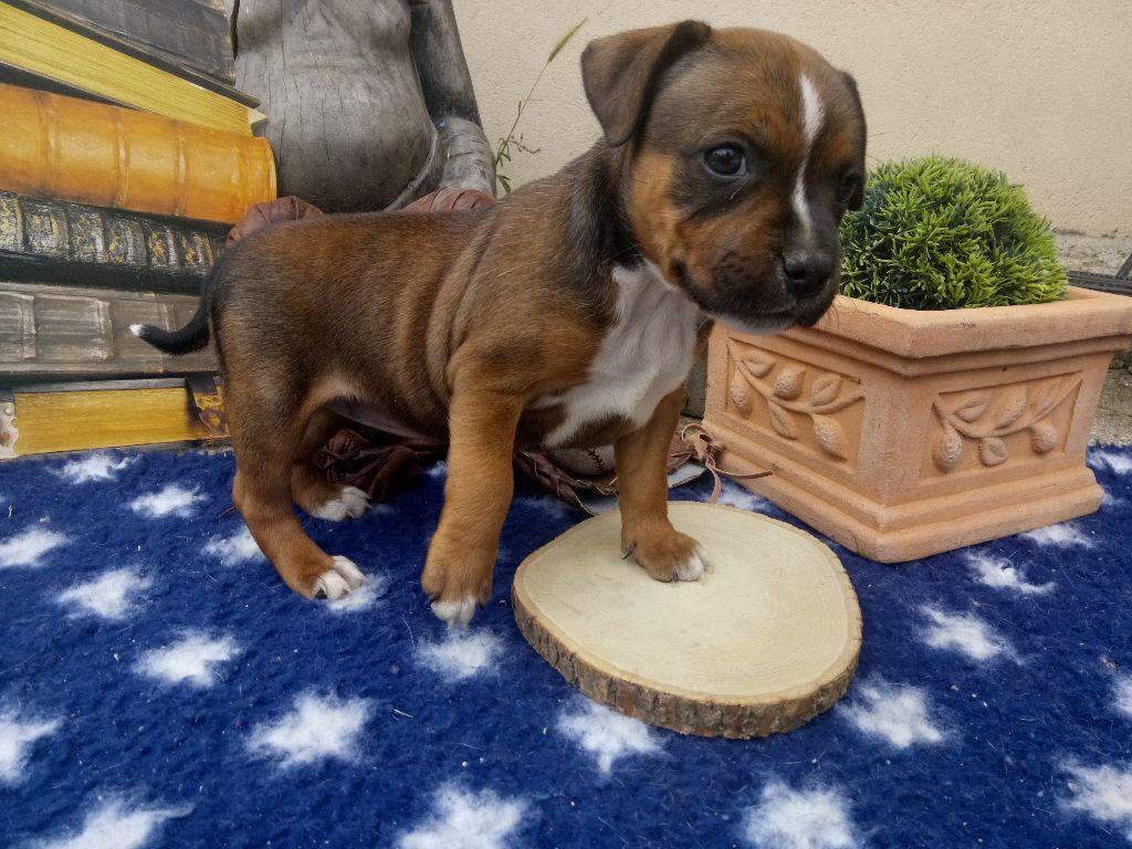 FEMELLE ONE LOVE - Staffordshire Bull Terrier