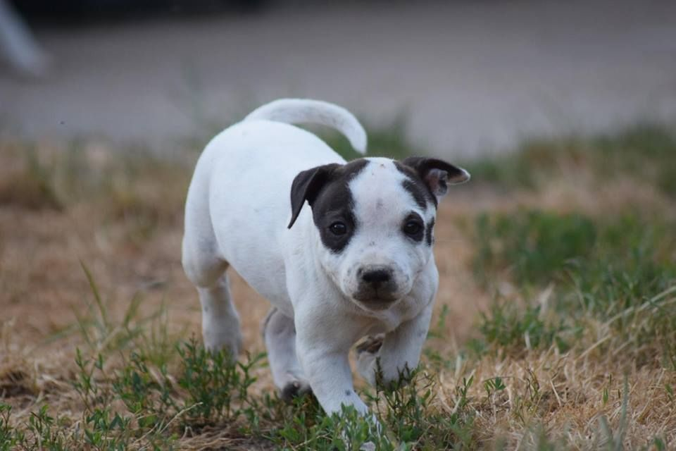 des Croisades de Tyam - Chiot disponible  - Staffordshire Bull Terrier