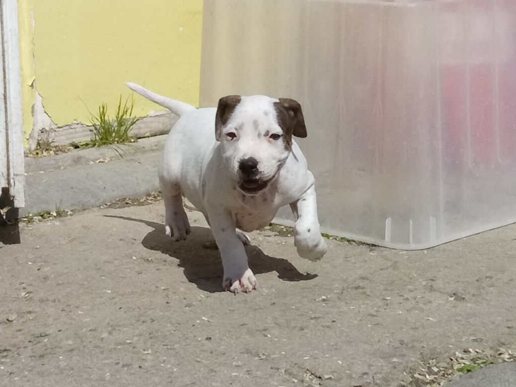 OFFENBACH - Staffordshire Bull Terrier