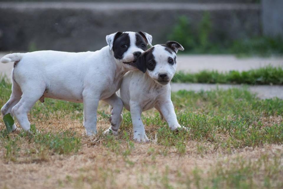 MALE ONE OREO - Staffordshire Bull Terrier