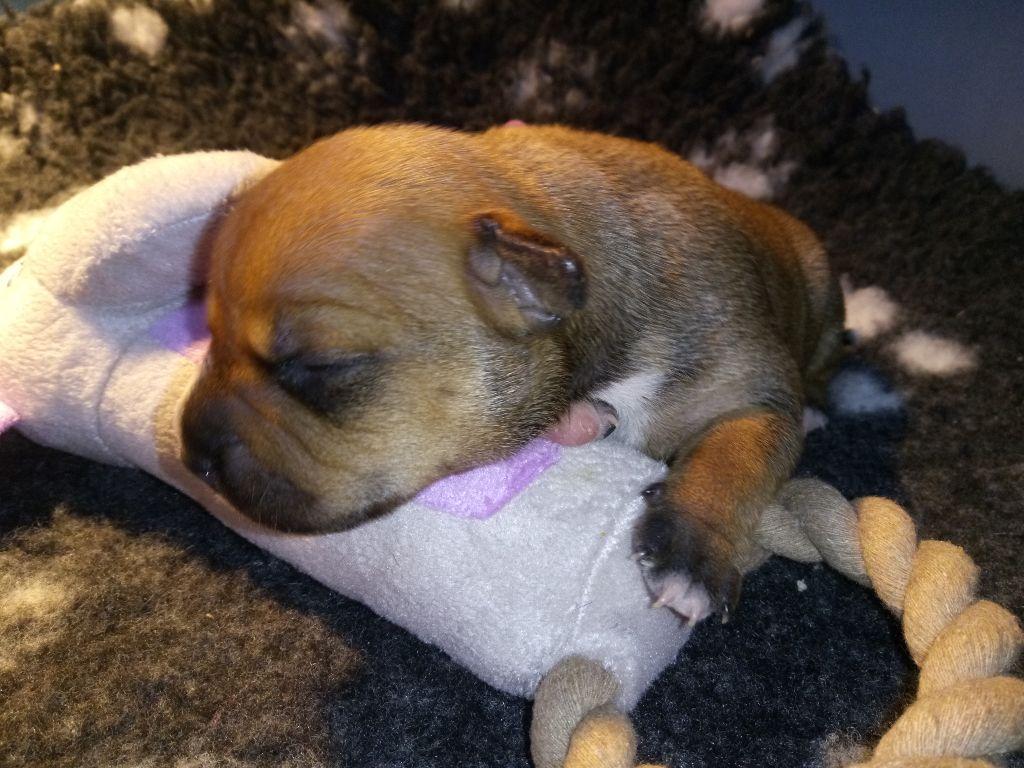 NAÏA - Staffordshire Bull Terrier