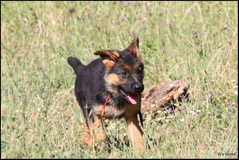 Chiot Berger allemand, MILKA Collier Rouge, femelle