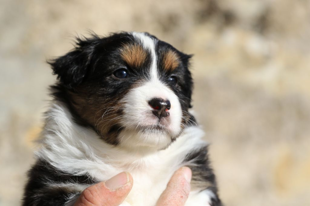 di u Vecchiu - Chiot disponible  - Berger Australien