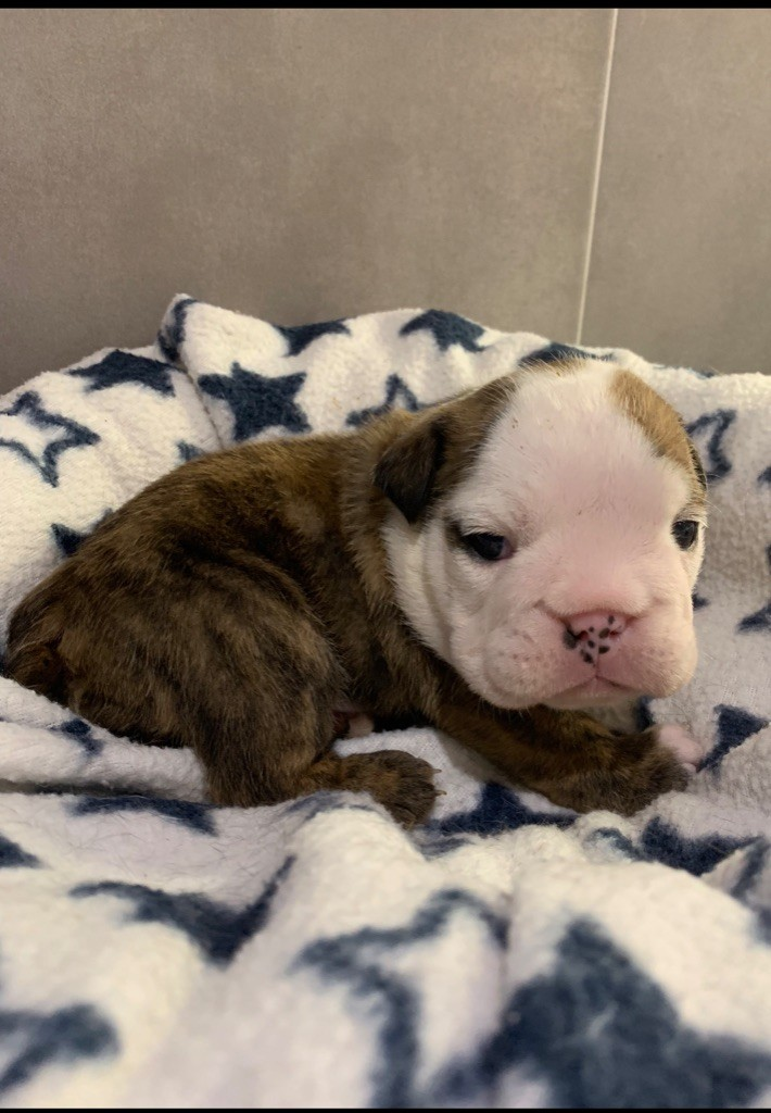 du Royaume des Anges - Chiot disponible  - Bulldog Anglais