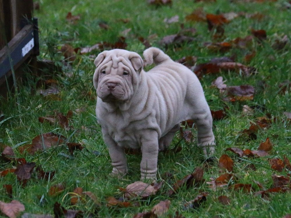 du Bouquet d'Epices - Chiot disponible  - Shar Pei