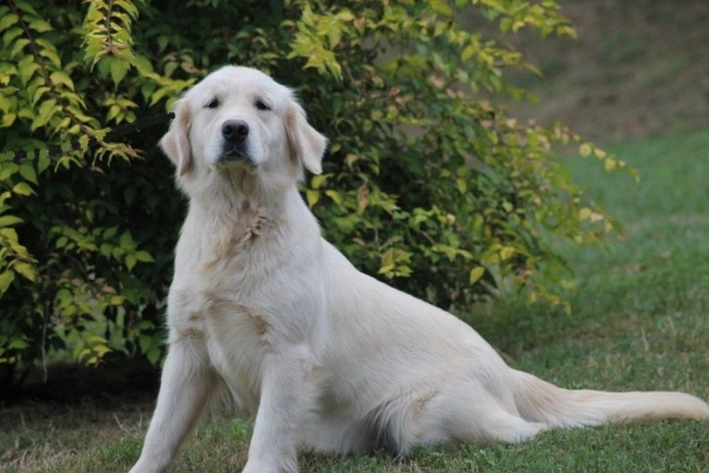 Mâle M3 - Golden Retriever