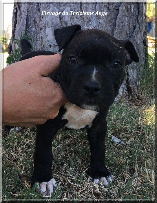 Du treizieme ange - Chiot disponible  - American Staffordshire Terrier