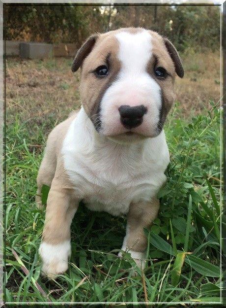 Du treizieme ange - Bull Terrier Miniature - Portée née le 14/08/2017