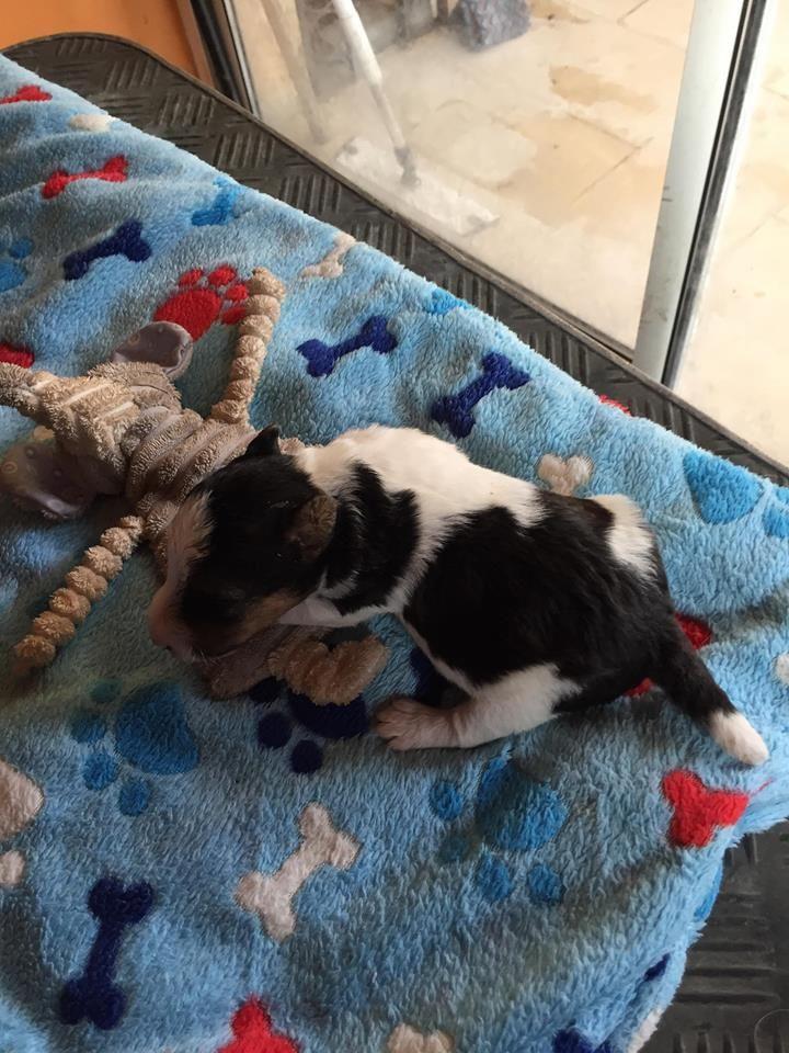 Du clos des amoureux - Chiot disponible  - Fox Terrier Poil Dur