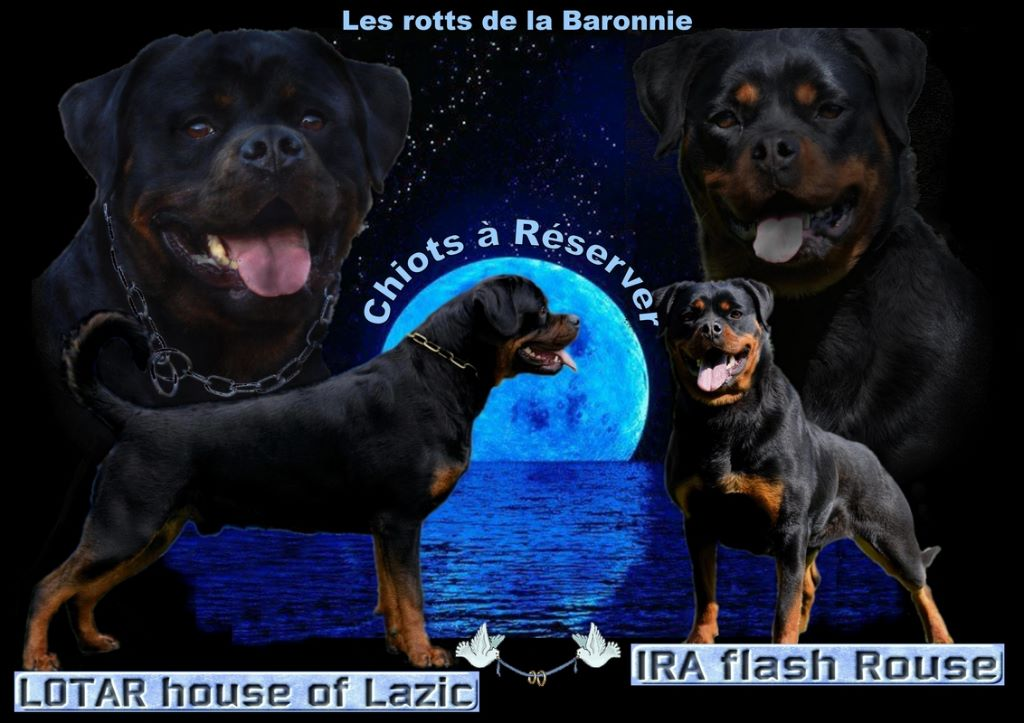des Rotts de la Baronnie - Chiot disponible  - Rottweiler