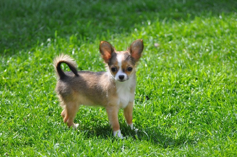 Des plaines de cornouailles - Chiot disponible  - Chihuahua