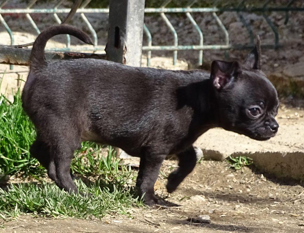 MACAO - Chihuahua