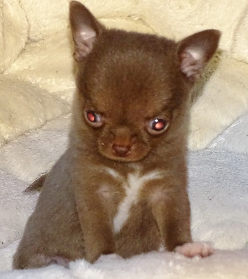 NUTELLA - Chihuahua