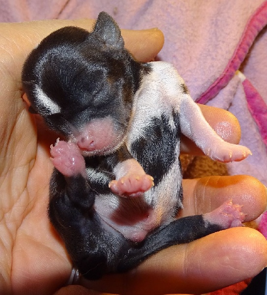 MOUSS - Chihuahua