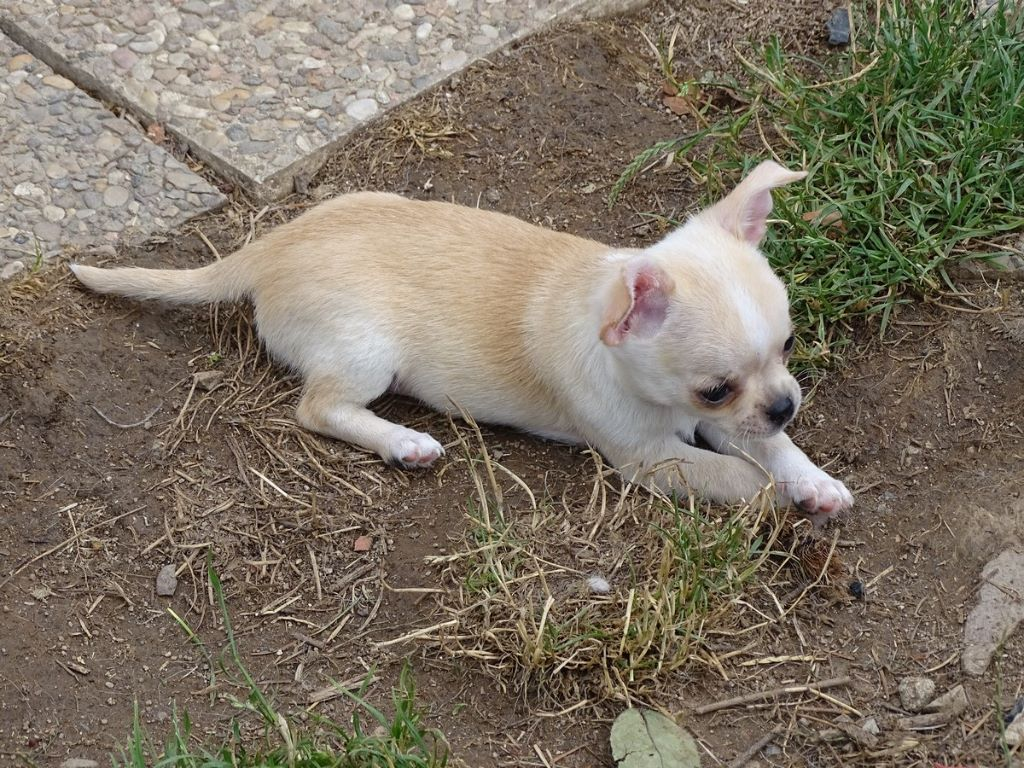 Chiot Chihuahua, NUAGE (peut etre changé), mâle disponible