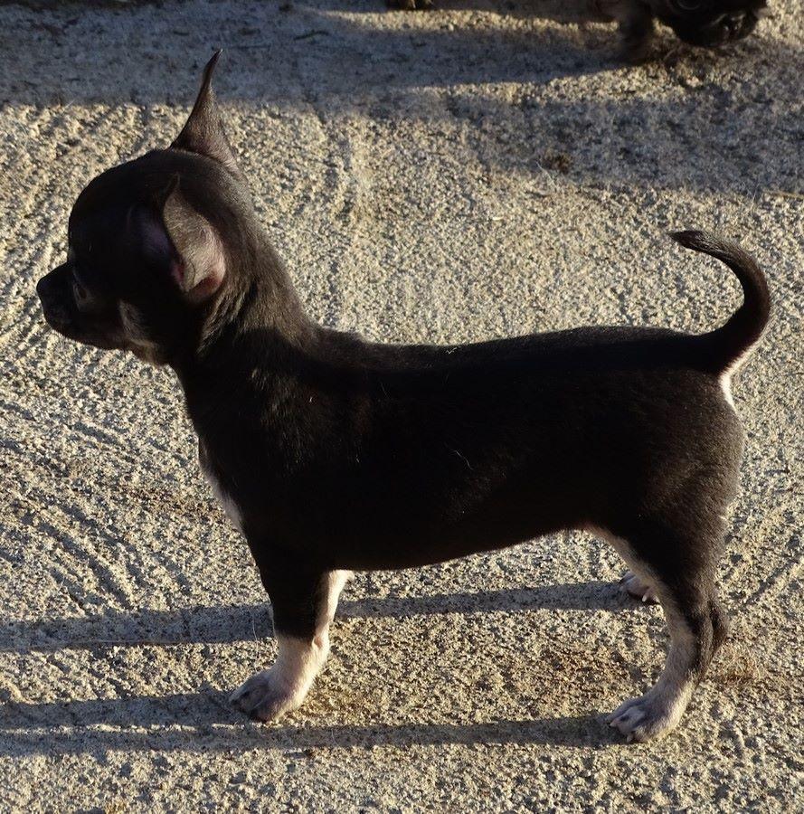 MIA  - Chihuahua