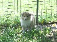 De la vallée des noyeres - Chiot disponible  - Shetland Sheepdog