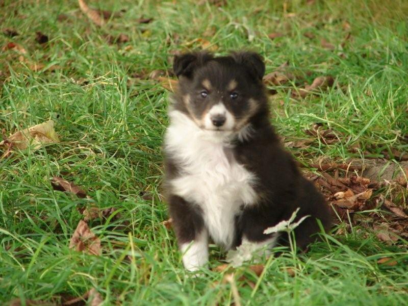 De la vallée des noyeres - Shetland Sheepdog - Portée née le 10/08/2009
