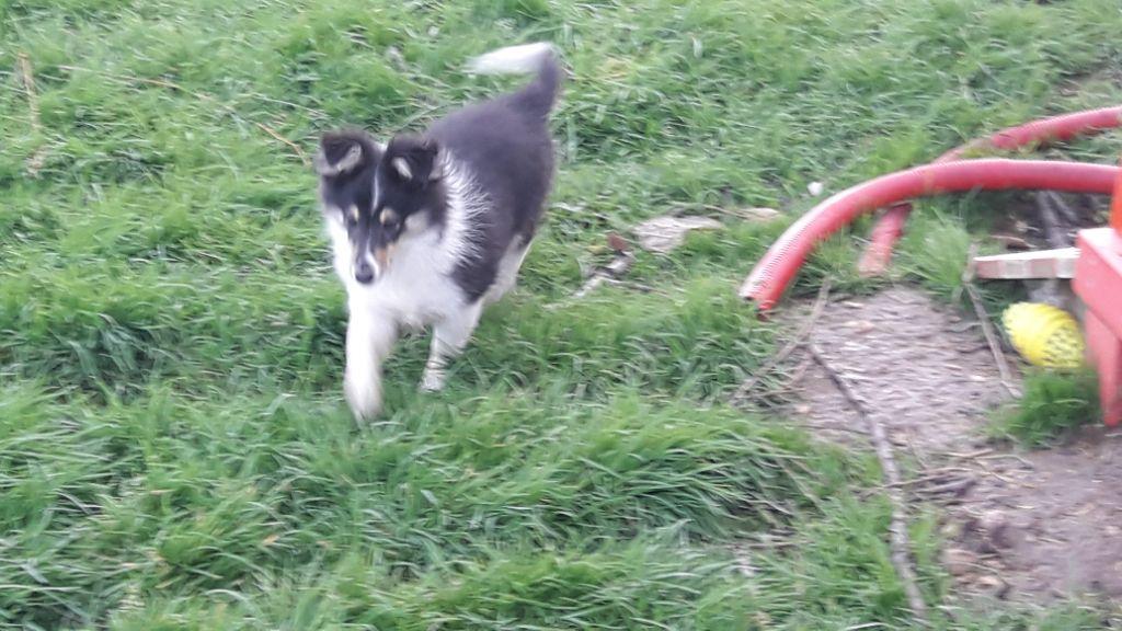 De la vallée des noyeres - Shetland Sheepdog - Portée née le 31/10/2019