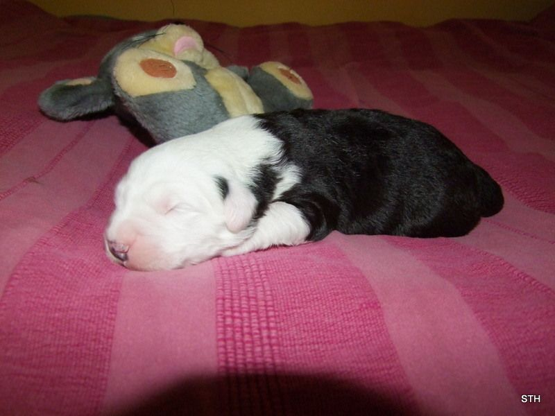 Stairway to Heaven - Chiot disponible  - Bobtail
