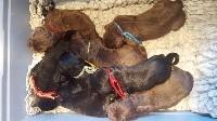 Terre-neuve - Du domaine de l'ourson brun