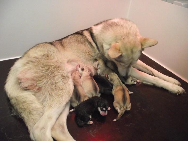 Uron's - Siberian Husky - Portée née le 18/04/2011