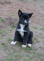 Uron's - Siberian Husky - Portée née le 07/12/2017