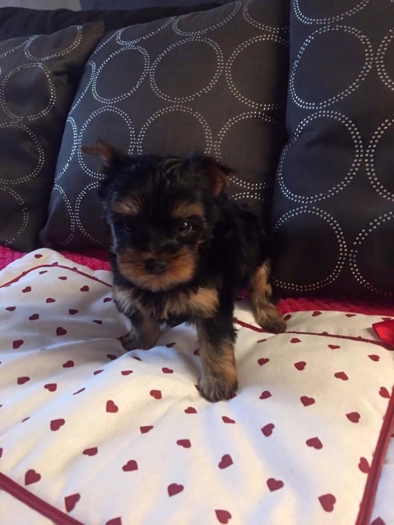 de la légende des trolls - Chiot disponible  - Yorkshire Terrier