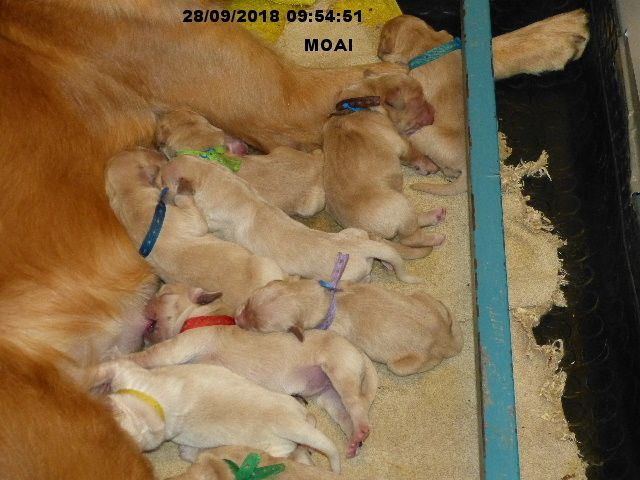 des Rives de la Bidouze - Chiot disponible  - Golden Retriever