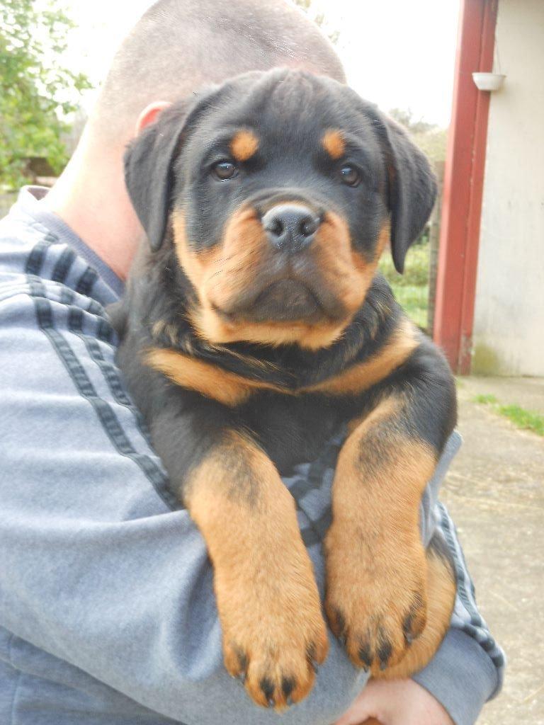 du Porteur des Reaux - Chiot disponible  - Rottweiler