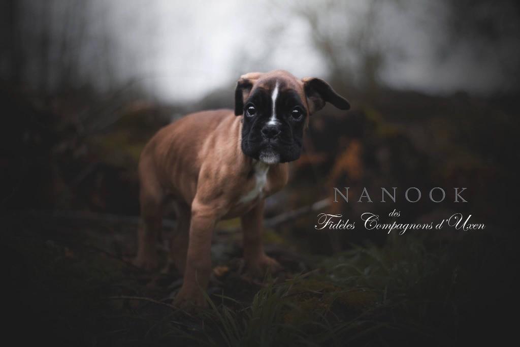 Nanook Des Fidèles Compagnons d'Uxen Boxer