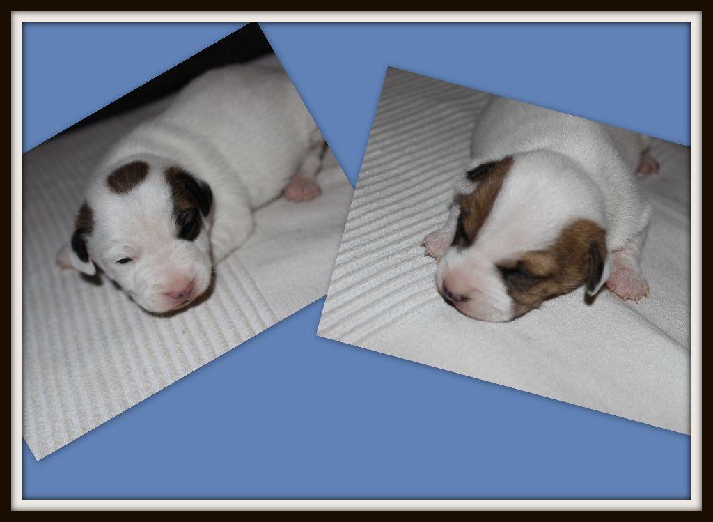 de l'antre des jacks - Jack Russell Terrier - Portée née le 24/12/2018