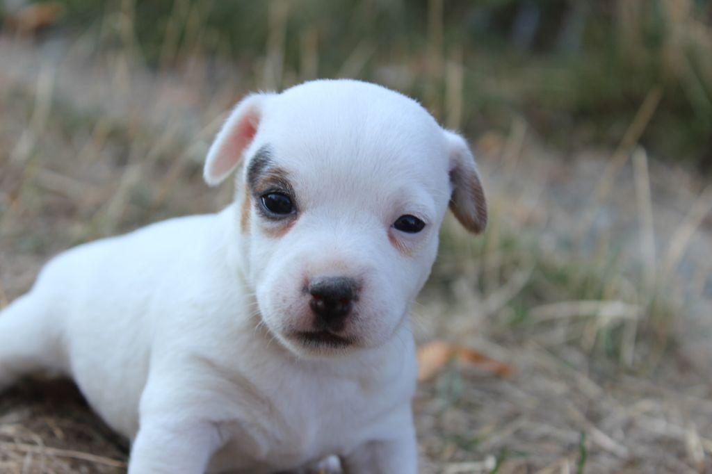de l'antre des jacks - Chiot disponible  - Jack Russell Terrier