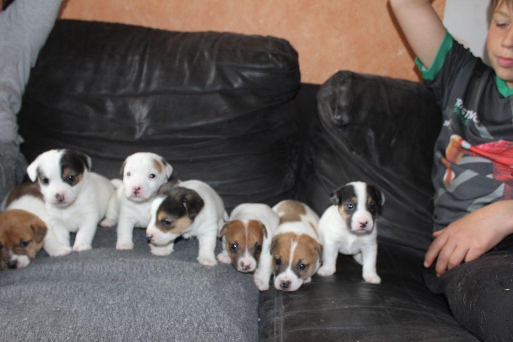 de l'antre des jacks - Jack Russell Terrier - Portée née le 22/03/2021