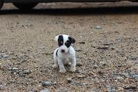 de l'antre des jacks - Jack Russell Terrier - Portée née le 21/03/2021