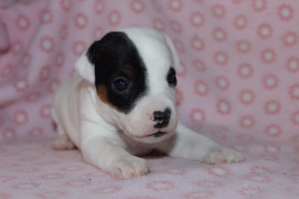FEMELLE 1 - Jack Russell Terrier