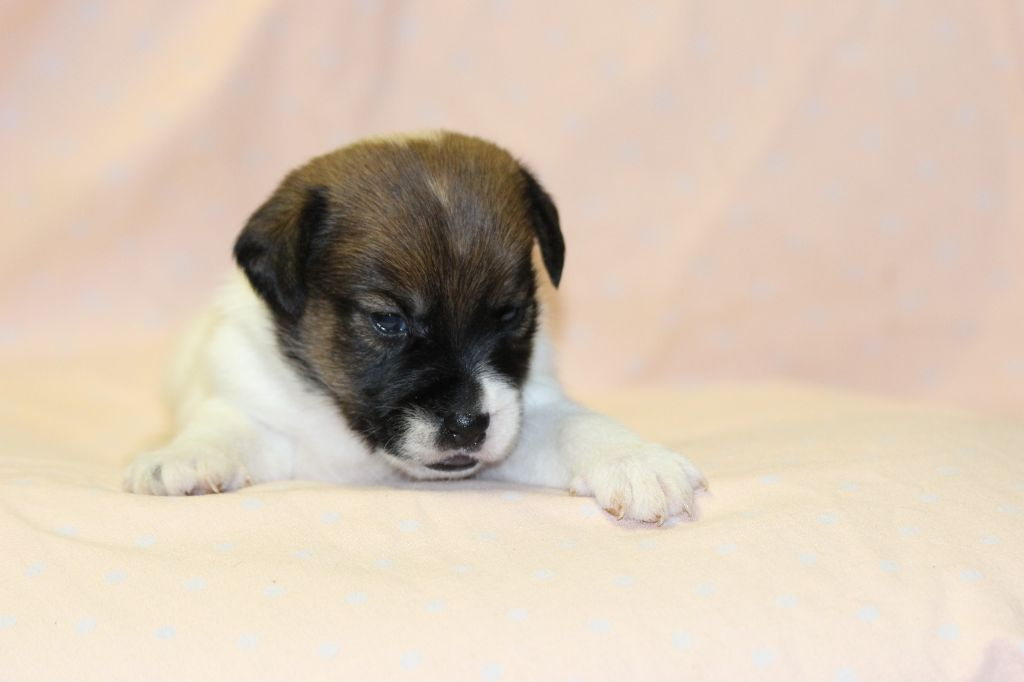 MALE 4 - Jack Russell Terrier